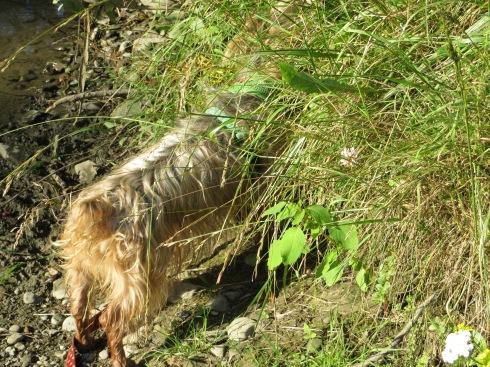 Ginger explores at Glen Highland Farm
