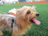 Bark in the Park Brooklyn Cyclones 011