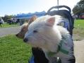 Pet News Now ARF Walk 125